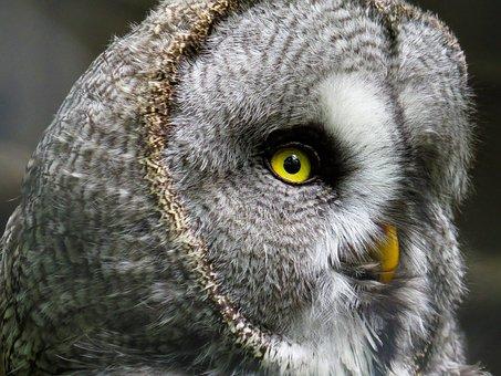 Animal, Owl, Bird, Plumage, Bill, Eyes, Bird Of Prey