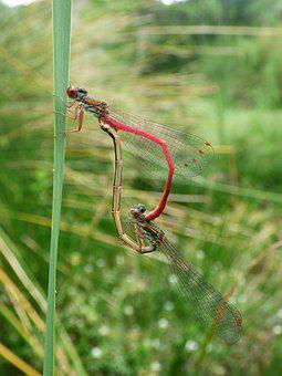 Dragonfly, Damselfly, Ceriagrion Tenellum, Couple