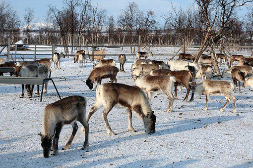 Reindeer, Winter, Snow, Ice, Cold, Slide, Seeds, Rag