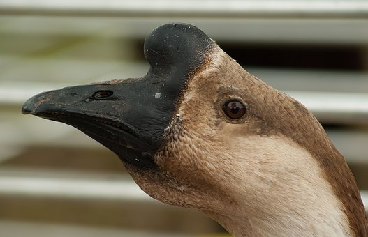 Goose, Poultry, Beak, Backyard