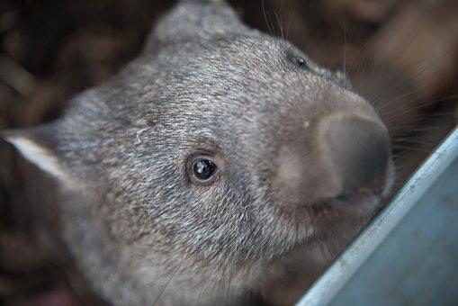 Wombats, Tasmania, Marsupial, Herbivore, Australia