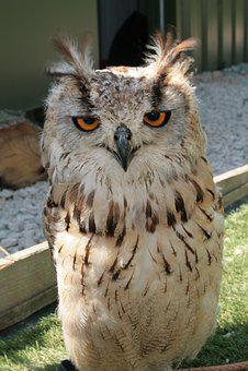 Owl, Bird Of Prey, Predator, Bird, Stare, Plumage, Eyes