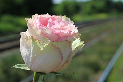 White Pink Rose, Railway, Stop Teenager Suicide