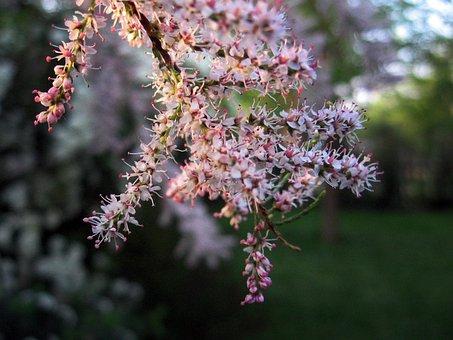 Plant, Shrub, Flowers, Pink Shrub, Spring, Garden