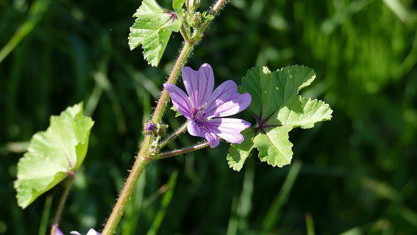 Flower, Wild Flower, Purple, Pink, Mallow, Blossom