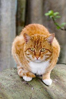 Pet, Orange, Young, Eyes, Feline, Isolated, Cat, Mammal