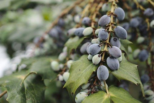 Berries, Shrub, Bush, Plant, Inedible