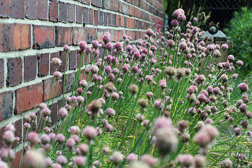 Chives, Blossom, Bloom, Bloom, Nature, Plant, Purple