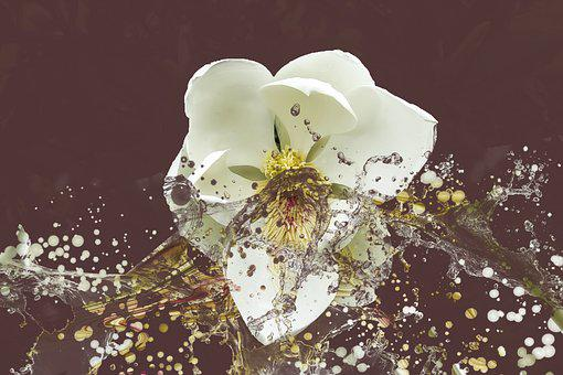 Magnolia, Flower, Splash, Effect