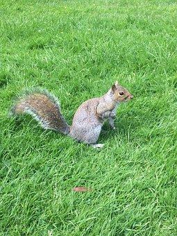 Grey Squirrel, Squirrel, Royal Botanic Garden, Scotland