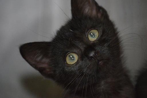 Black Cat, Animal Welfare, Cat, Kitten, Nature