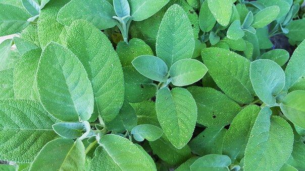 Sage, Salvia, Shrub, Leaves, Green, Garden, Flower