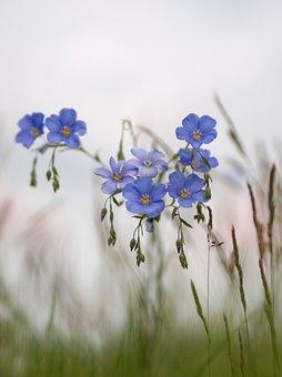 Flower, Blue, Meadow, Spring, Len, Nature, Grass