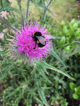 Thistle, Bee, Nature, Flower, Plant, Green, Purple