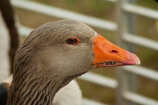 Goose, Poultry, Beak, Farm, Backyard