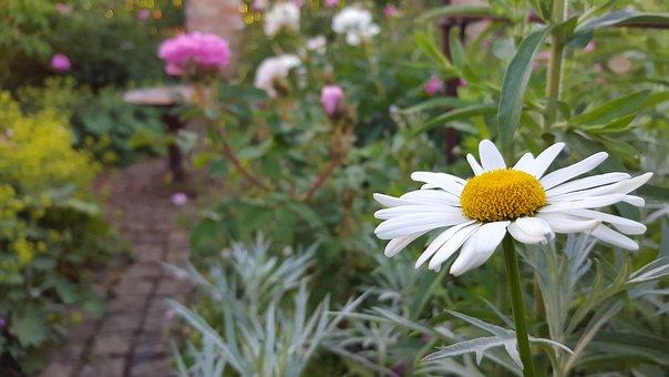 Marguerite, Shrub, Flower, Blossom, Bloom, White