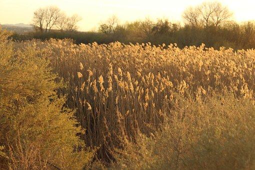 Reeds, Sunshine, Nature, Landscape, Sunset