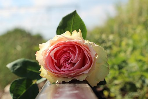 White Pink Rose On Railway, Stop Teenager Suicide