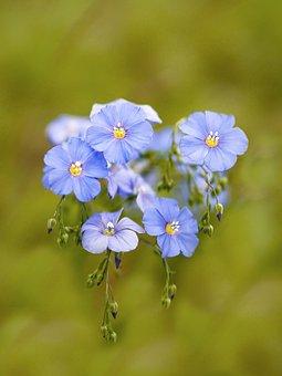 Len, Flower, Spring, Nature, české Středohoří, Blue