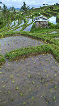 Paddy, Bali, Indonesia, Rice Fields, Agriculture