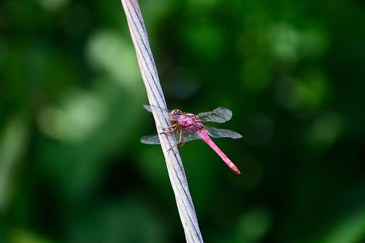 Dragonfly, Insect, Wild Life, Pata, Wing, Animal