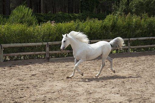 Horse, White, Beautiful, Barn, Animal, Nature