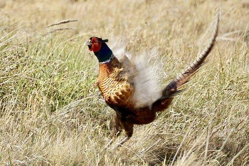 Pheasant, Bird, Males, Feather, Threaten, Defend