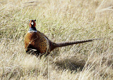 Pheasant, Bird, Males, Feather, Plumage, Hahn, Colorful