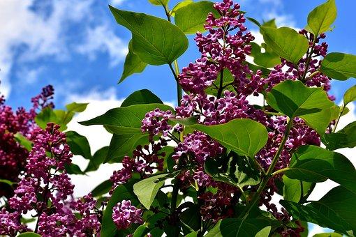 Lilac, Bush, Bloom, Lilac Branch, Plant, Blossom, Bloom