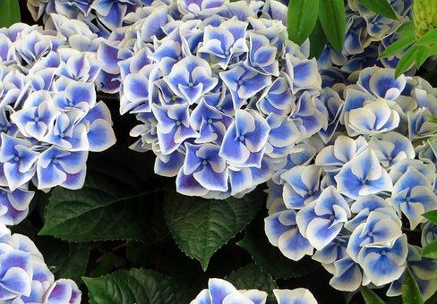 Hydrangea, Blue, Marginé, Flower, Horticulture, Bouquet