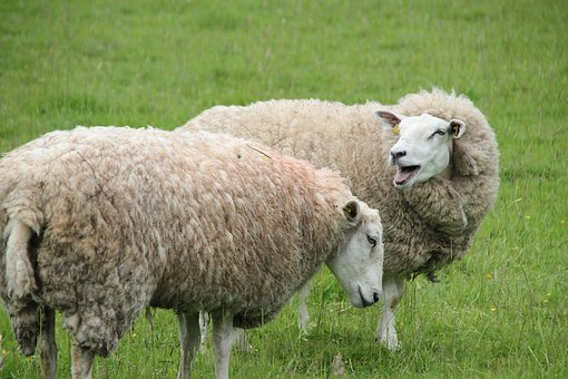 Sheep, Cattle, Wool, Agriculture, Landscape, Animal