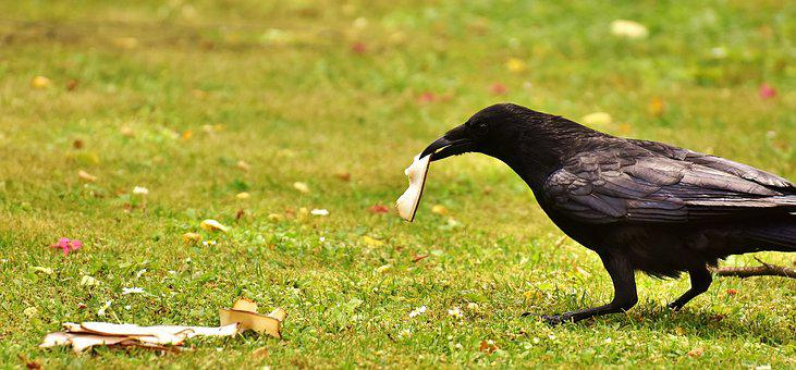 Common Raven, Raven, Food, Eat, Raven Bird, Crow