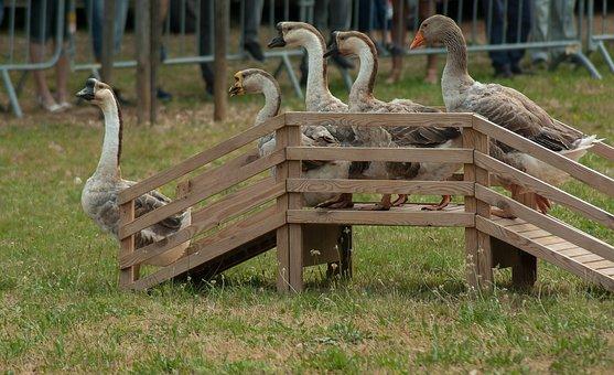 Geese, Poultry, Backyard, Farm