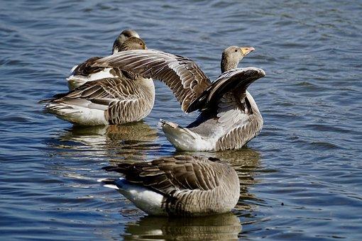 Geese, Grey Geese, Wild Geese, Water Bird