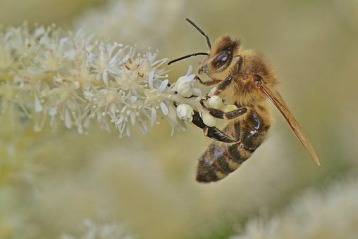 Bee, Honey Bee, Insect, Nature, Blossom, Bloom