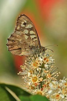 Butterfly, Butterflies, Insect, Meadow Brown