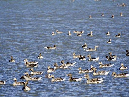 Geese, Grey Geese, Wild Geese, Goose, Migratory Bird