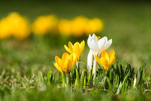 Crocus, Isolated, Bokeh, Meadow, Spring, Grass, Nature