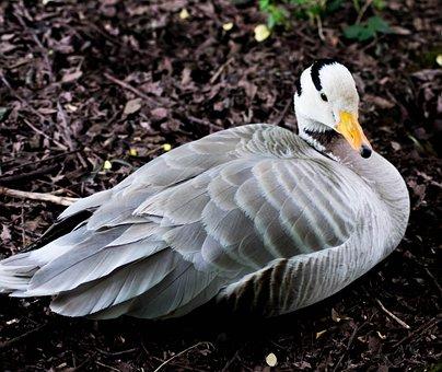 Bar-headed Goose, Bird, Goose, Nature, Wildlife, Geese