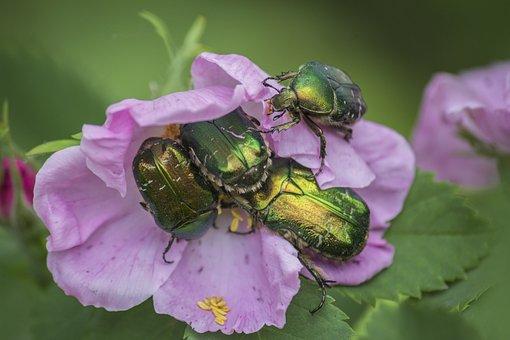 Rose Hip, Bug, Beetle, Pink