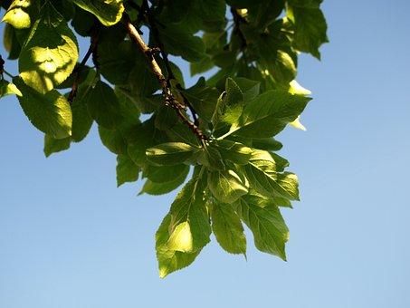 Plum, Foliage, Sad, Spring, Sprig, Sky, Nature