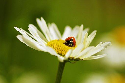 Margarite, Geese Flower, White, Daisy, Flower, Close