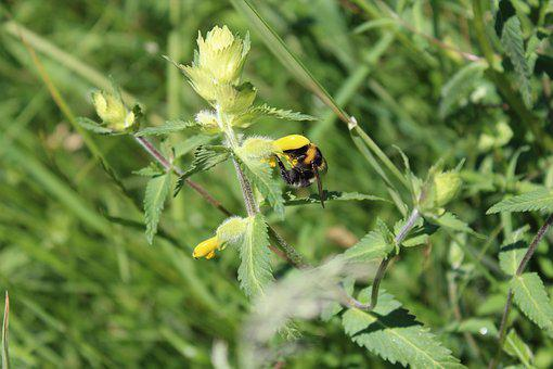 Hummel, Flower, Insect, Close, Pollen, Hard Working