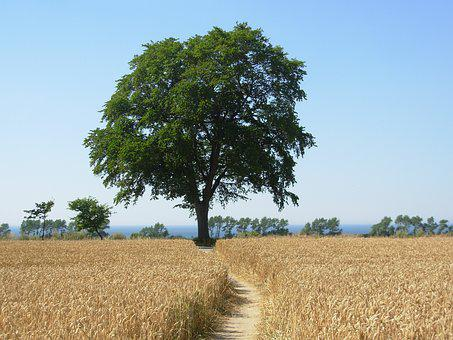 Cornfield, Tree, Summer, Sun, Sky, Nature, Harvest