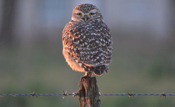 Owl, Field, Ave, Nature, Eyes, Birds