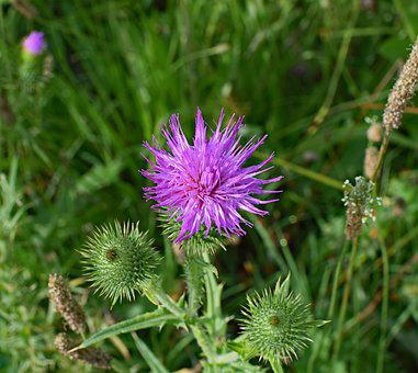 Common Thistle, Top Down, Wildflower, Flower, Blossom