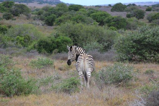 Giraffe, Safari, Funny, Animal, Africa