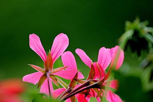 Geranium, Blossom, Bloom, Geraniums Bloom