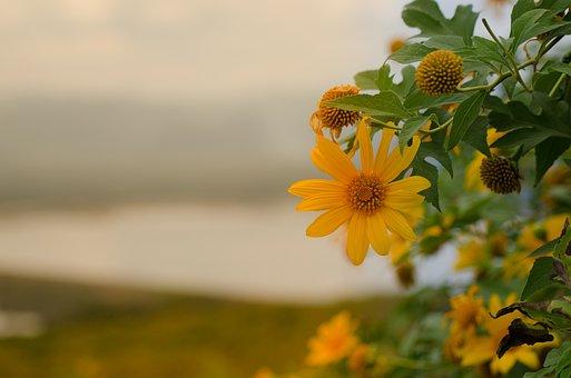 Mexican Sunflower, Lotus Tong, Mae Moh, Lampang