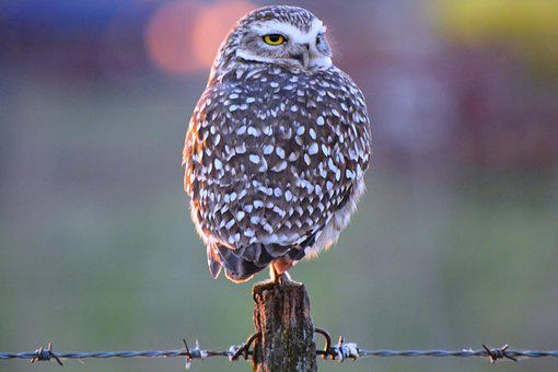 Owl, Field, Ave, Nature